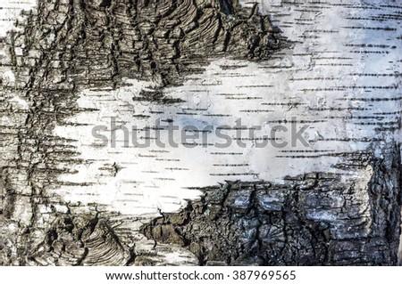 Birch bark. - stock photo