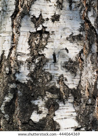 Birch bark. background