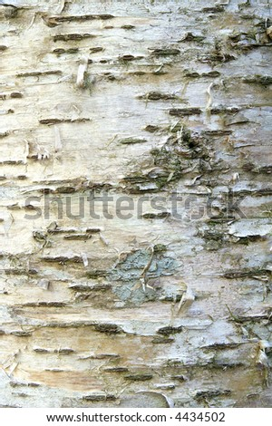 Birch Bark Background Suitable for Photographic Washes - stock photo