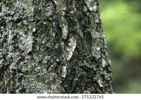 birch bark in the forest - stock photo