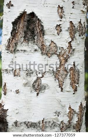 Birch bark tree trunk close up - stock photo