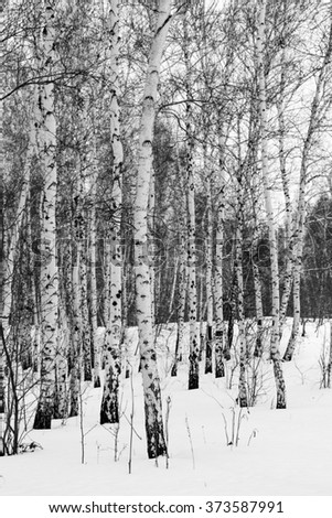 birch, black and white photo, winter wood