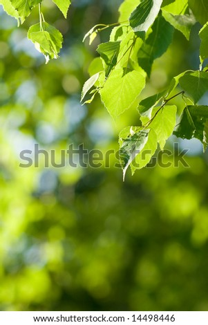 birch branch at top right corner, green nature background, copy space for the text