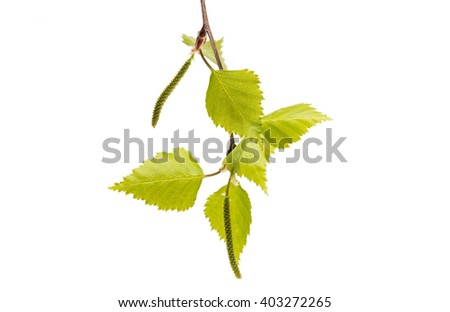 Birch branch with young leaves isolated on white background - stock photo