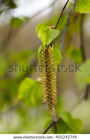Birch bud in the spring sunlight - stock photo