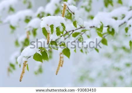 Birch catkins and leaves in the wind during the snowfall.  Western Siberia, Russia. - stock photo
