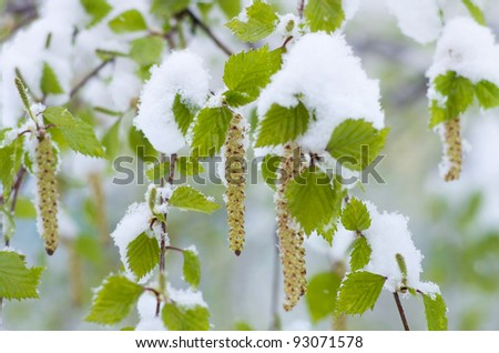 Birch catkins in the snow close-up. Snowfall in Spring. - stock photo