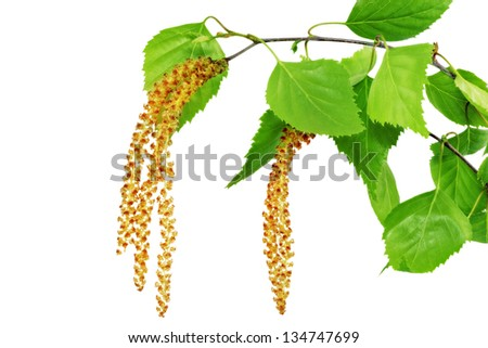 Birch catkins isolated on white background . - stock photo