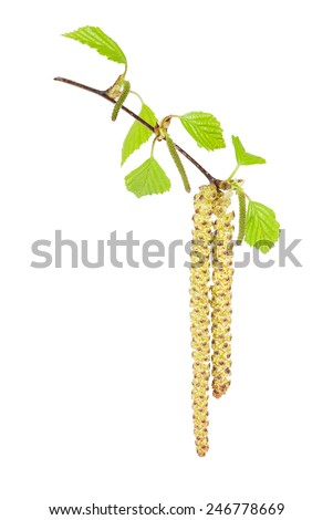 Birch catkins male and female isolated on white background - stock photo