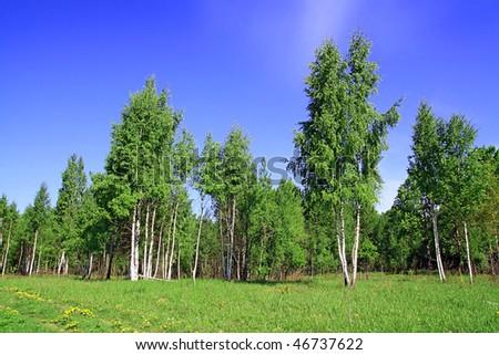 birch copse - stock photo
