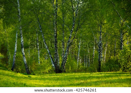 Birch covered with green foliage . spring landscape