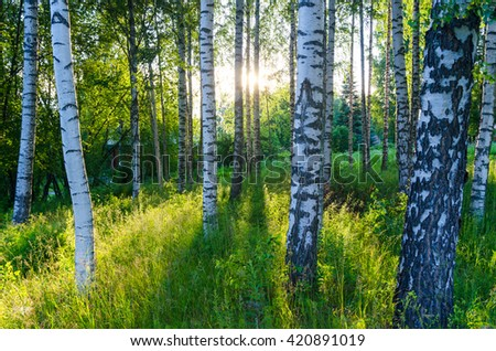 Birch forest. - stock photo
