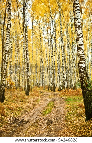 birch forest - stock photo