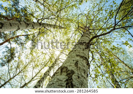 Birch forest, abstract natural backgrounds - stock photo