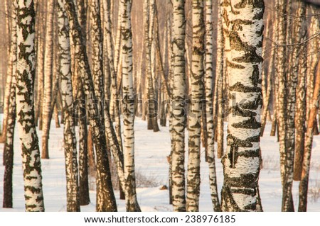 Birch forest at winter in Russia at golden sunset light - stock photo