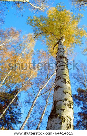 Birch forest. Betula pendula (Silver Birch) Birch resin is used in the pharmacy and cosmetics industry (hair conditioner). Autumn scenery. - stock photo