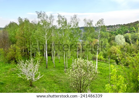 Birch forest blooming apple tree and willow in spring stock photo