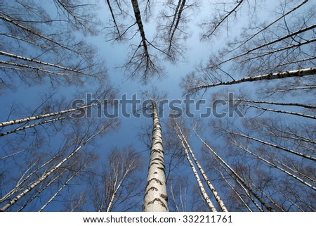 birch forest in early spring