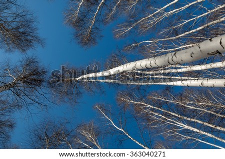 Birch forest in early spring. Early spring forest. the first warm days - stock photo