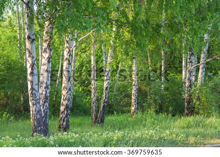 birch forest in sunlight in the morning - stock photo