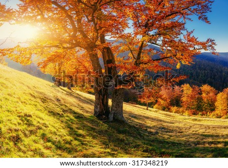 birch forest in sunny afternoon while autumn season  - stock photo