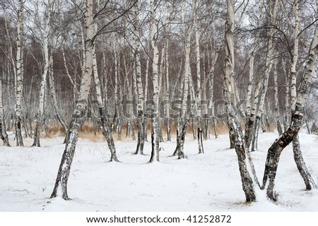 birch forest in winter covered with snow