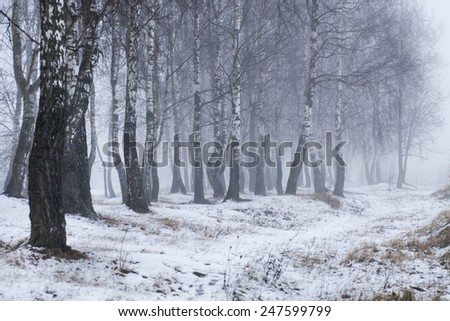 Birch forest in winter with a fog, nature landscape background