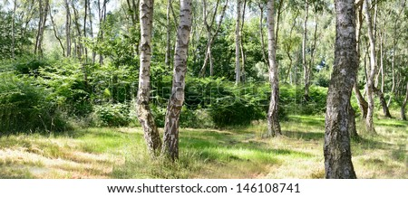 Birch forest. Sherwood Forest, Nottinghamshire. The immense forest famously known as the haunt of Robin Hood. Betula pendula (Silver Birch). - stock photo