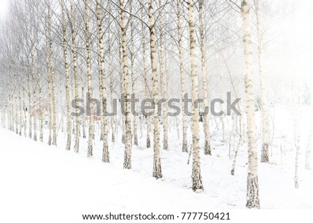 Birch forest winter background on a cold and snowy day.