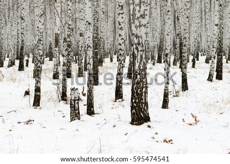 Birch forest winter landscape