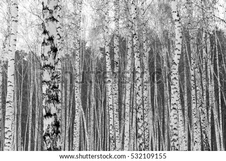 Birch forest winter landscape, black and white photo