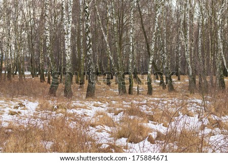 birch forest with melting snow in spring background - stock photo