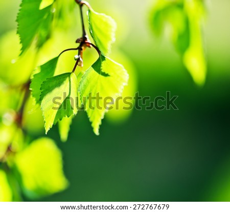 Birch green leaves close-up. Selective focus (shallow depth of field).  - stock photo