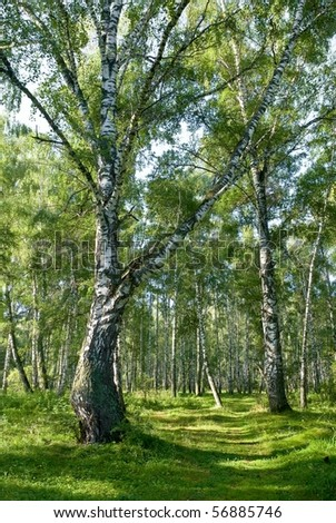 birch grove by a summer day