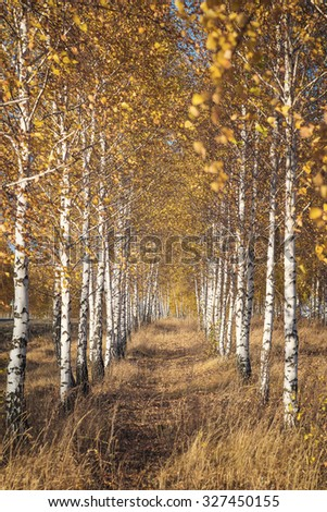 Birch Grove in autumn season
