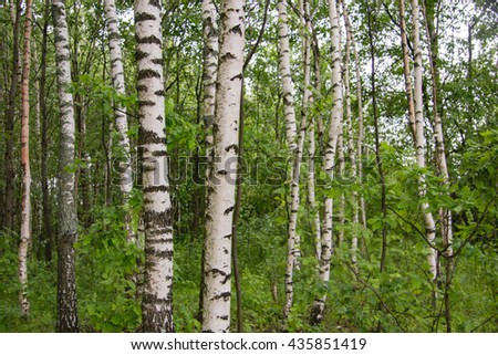 birch grove in the summer