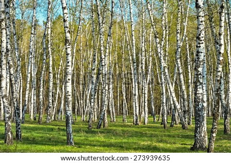 birch grove in the woods - stock photo