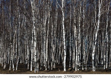 Birch Grove. Spring came. Soon the leaves of birch trees bloom.