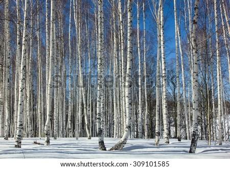 Birch Grove.Winter. - stock photo