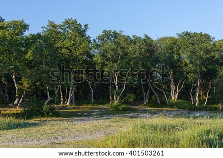 Birch grove with fancifully bent trunks of trees on Solovetsky Islands (Solovki), Russia