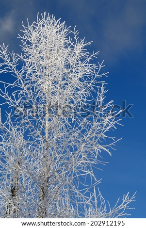 Birch in hoarfrost