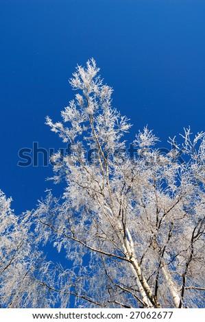 birch in the winter - stock photo