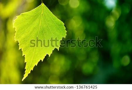 Birch leaf against green background - stock photo