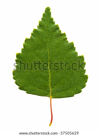 birch leaf isolated on the white - stock photo