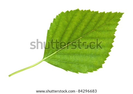 Birch leaf. Isolated on white. - stock photo