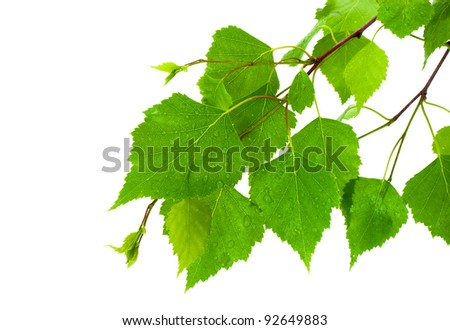Birch leaves - stock photo