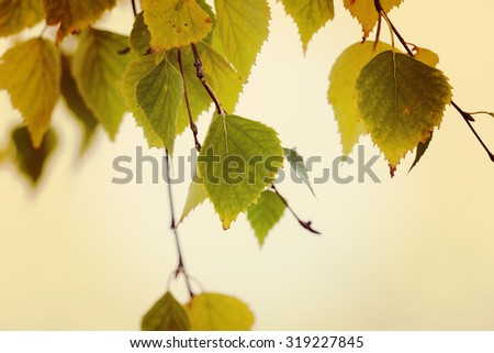 Birch leaves. Image of birch leaves facing the reality called autumn. Image taken during partly sunny day. A lake is behind the leaves. Image has a vintage effect applied. - stock photo