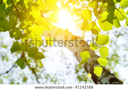 Birch leaves in the rising sun - stock photo