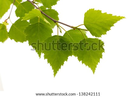 Birch leaves of the tree isolated on the white background. - stock photo