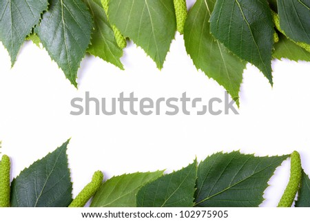 Birch leaves on a white background